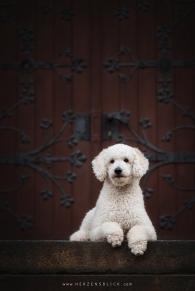 Hundefotografie Pudel