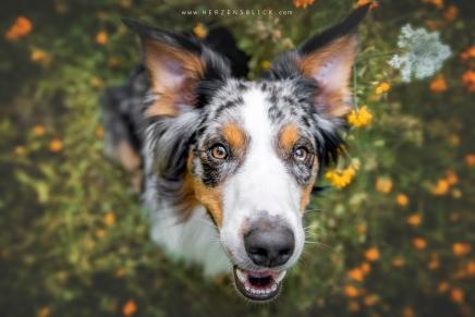 Hundefotoshooting Aussie