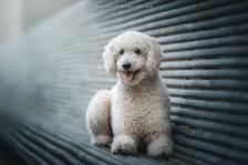 Tierfotografie Pudel